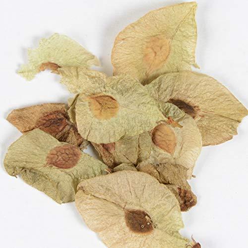 Ulmus hollandica Hochstamm Zwergulme Jacqueline Hillier 80-100cm