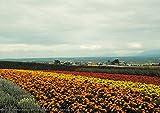 安永新一のポスター 色とりどりの花が集まる丘 中富良野町 北海道 写真 風景 インテリア 耐水 パシャデリック P-A2-PS-YSG-ehfv6c