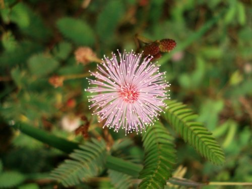 JustSeed Mimose, Mimosa Pudica, Blumen, 200 Samen
