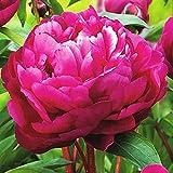 1x Rizoma Peonias Plantas de exterior Peonias bulbos Peonias rosas Plantas ornamentales Peonia Karl Rosenfield
