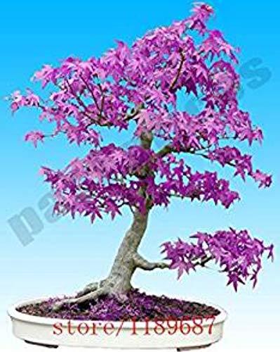 Hainice 20 Semillas Semillas De Estructura De Pc Púrpura Árbol De Arce Japonés Bonsai Semillas Semillas De Flores Árbol De La Planta En Maceta En Casa Y Jardín