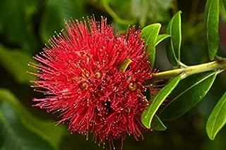 Pohutukawa Flower Dunedin South Island New Zealand Poster Print by David Wall (36 x 24)