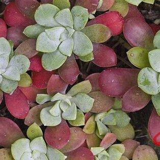1 Paquet professionnel fleurs orpin graines, de Bureaux mini-bonsaï plantes graines 50pcs