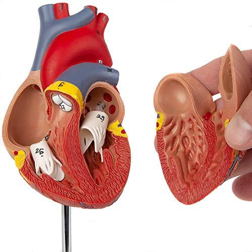 HUIGE Menschliches Herzmodell, 2-Teiliges Lebensgroßes Herz Anatomisches Modell Mit Nummerierten Anatomie-Lehrmodellen Für Das Naturwissenschaftliche Unterrichtsstudium Medizinisches Display