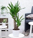 BALDUR-Garten Yucca Palme ca. 70 cm hoch, 1 Pflanze Zimmerpalme Palmlilie - 2