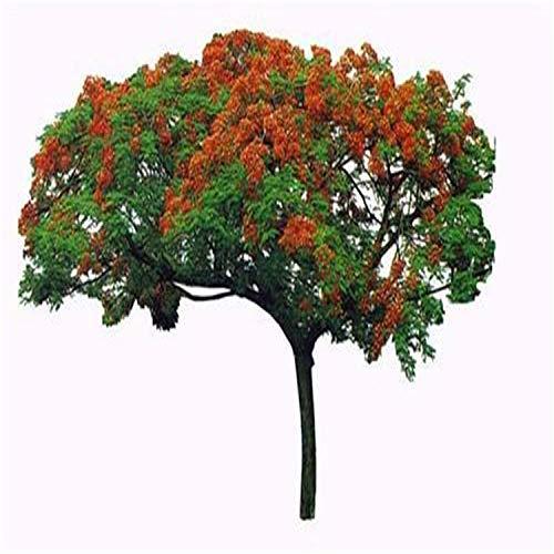 Semillas de Jacaranda Semillas de Golden Phoenix Semillas de árbol de fuego 300 Cápsulas