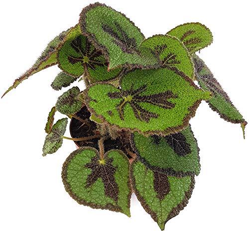 Fangblatt - Begonia masoniana