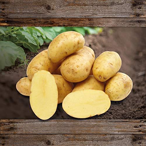 FLORTUS 2000-0433-2,5kg Kartoffel Annabelle (2,5 kg) (Pflanzkartoffeln)