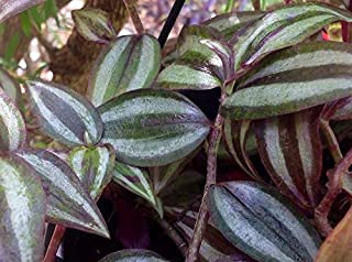 Unrooted Wandering Jew Starter Houseplant Live Cuttings-Shade Plants