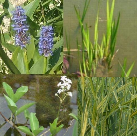 Teichpflanzen Set Mini Teich mit Wasserschwaden, Kalmus, Fieberklee und Hechtkraut aus Naturteichen, tolle Ware, nie Wieder Algenprobleme