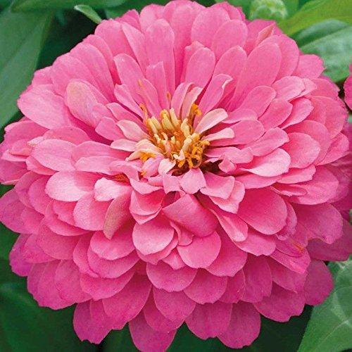 200 + ZINNIA « LUMINOSA » Graine géant 4 « -5 » rose vif Fleurs Blooms Été Automne