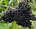 (12) Fresh Black Bearing Elderberry Cuttings, Sambucus, Fruit to Enjoy in Years to Come, Fresh Cuttings