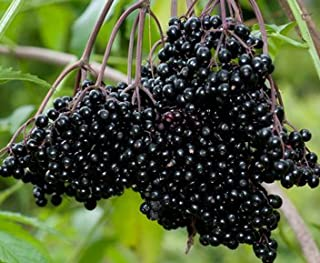 (4) Fresh Black Bearing Elderberry Cuttings, Fruit to Enjoy in Years to Come, Fresh Cuttings