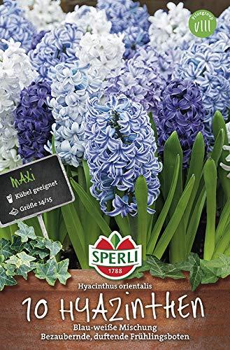 Sperli 463989 Hyazinthe blau & weiß (10 Stück) (Hyazinthenzwiebeln)