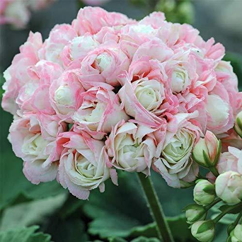 Yukio Samenhaus - 10 Stück England Stehende Geranie 'Appleblossom' Samen, Balkon-Geranie mit Traumblüten, Hit in Balkonkästen, Kübeln und Beeten