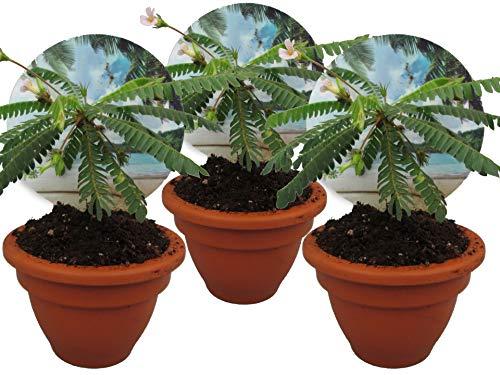 Südseepalme, (Biophytum sensitivum), im 9cm Tontopf, ideal für Kinder, die Pflanze die sich bewegt (3 Pflanzen)