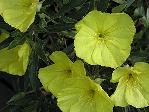 FERRY Hohes Wachstum Seeds Nicht NUR Pflanzen: Samen 80 Graines D'Onagre Du Missouri () ark Sundrop