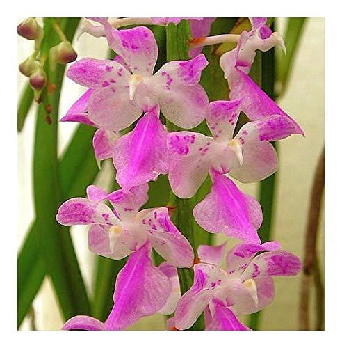 Aerides rosea - orchidée rose - 100 graines