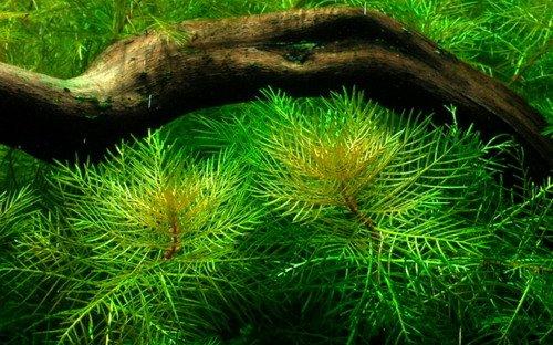 WFW wasserflora Mato-Grosso-Tausendblatt/Myriophyllum mattogrossense