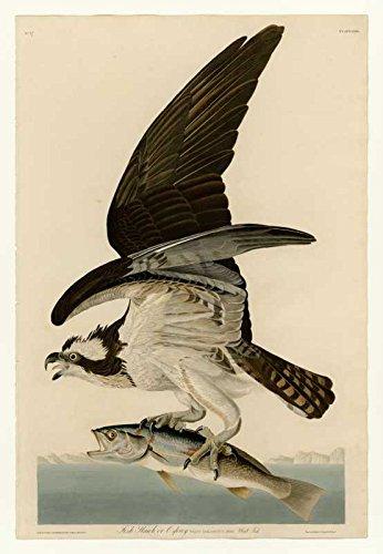 The Museum Outlet Audubon – Fish Hawk ou Plaque de Osprey 81 – Impression sur Toile Acheter en Ligne (61 x 45,7 cm)
