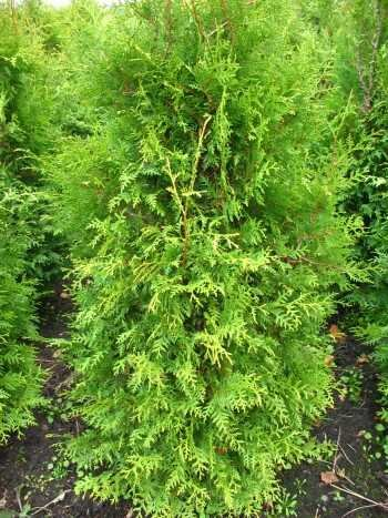 Brabant Lebensbaum Thuja occidentalis Brabant 100-125 cm hoch im 5 Liter Pflanzcontainer