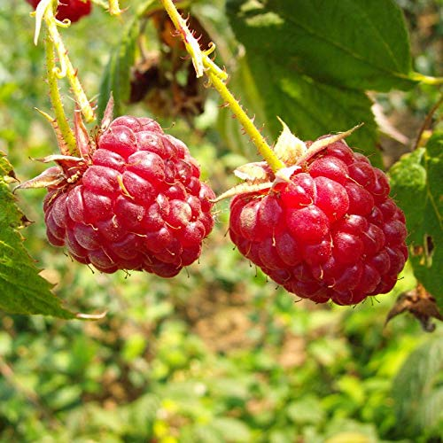 3er Set Zefa Herbsternte Himbeere Rubus 2 Ernten im Jahr im 2 L Topf Himbeerpflanze