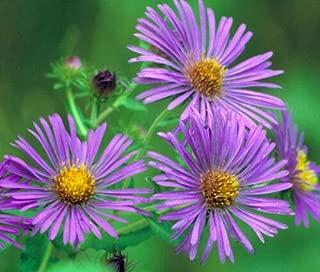 Aster New England Symphyotrichum Novae-Angliae 999+ Bulk Seeds uKE -601