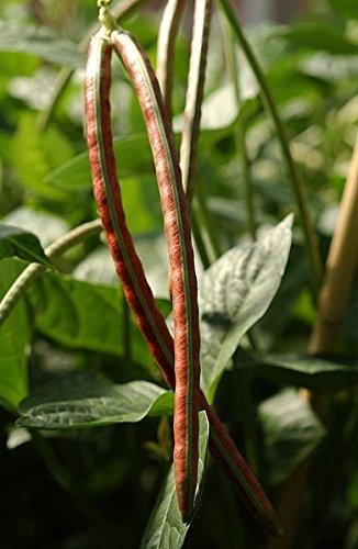 100 PURPLE Conjonctivite dolique Sud Crowder Vigna unguiculata Graines de légumes
