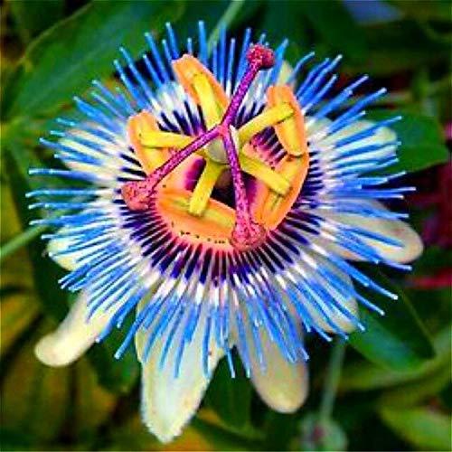Brown: Bonsaï En Pot De Passiflora Graines Rares Fleurs Plantes Passion Fruit Graine De Passiflore Arbre Pour La Décoration De Jardin 20 Pcs Un Sac