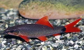 WorldwideTropicals Live Freshwater Aquarium Fish - (2) 2-Pack 2.5-3 Rainbow Shark - 2-Pack of 2.5-3