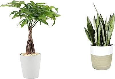Costa Farms Money Tree Pachira, Medium Ships in Premium Ceramic Planter, 16-Inches Tall, Gift & Premium Live Indoor Snake Sansevieria Floor Plant Shipped, Green, Yellow