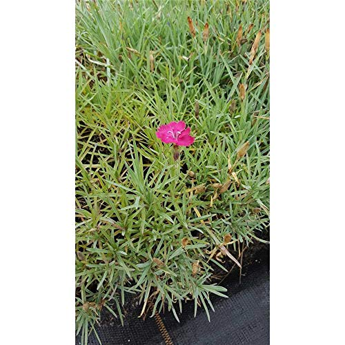 Dianthus gratianop.'Badenia' -...