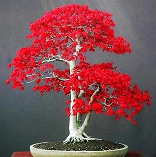 Beautytalk Bonsais Samen Ahornbaum Samen Bonsai Pflanzen Bäume für Blumentopf Pflanzer