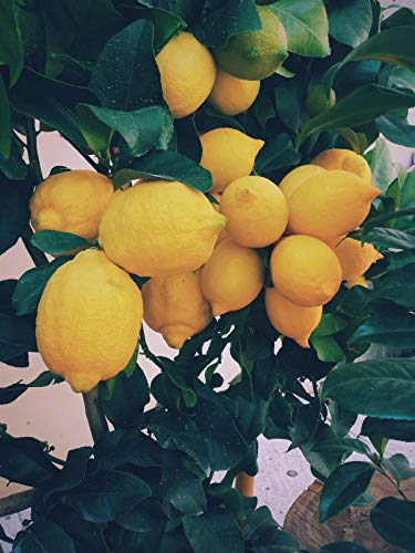 Grafted Lemon Meyer Live Tree Big Plant