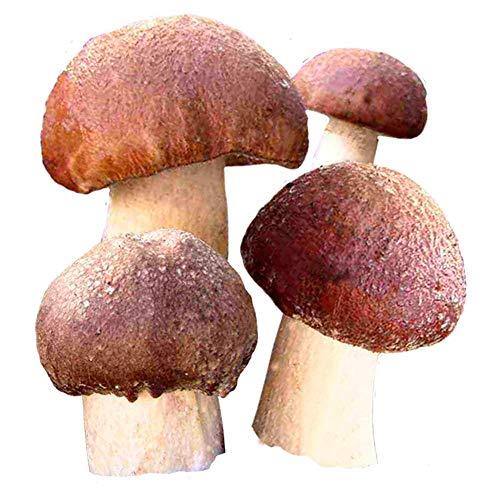 Hawlik Pilzbrut - Originalet – bruna hattar skogsträdgårdskultur att odla själv – mycket lätt att skörda färska svampar
