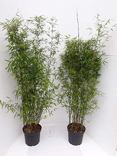 5 Bambuspflanzen, 110-120 cm, Fargesia Jiuzhaigou, winterhart und sonnenfest + Dünger