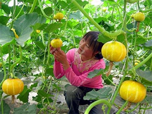 Graines de citrouille rares Cucurbita fil d'or de citrouille non-OGM légumes jardin Bonsai plantes ornementales semences Escalade 10 Pcs/sac 16