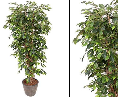 kunstpflanzen-discount.com Künstlicher Ficus Benjamini Multistamm Höhe 150cm - Ficus Kunstbaum mit Naturstämmen
