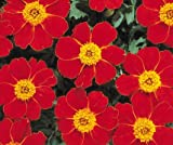Bobby-Seeds Tagetes Samen DISCO Red, Studentenblume Portion