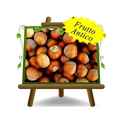 Haselnussbaum Haselnüsse Nocchione - Obstpflanzen antik auf Blumentopf einer Vase von 20 - Baum max 170 cm – 2 Jahre Anbau Italien