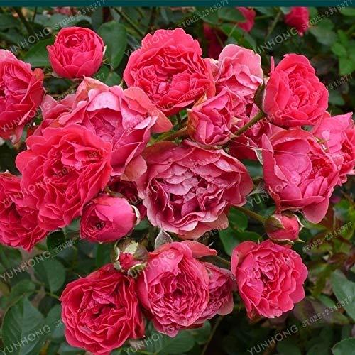 Kalash New 50pcs Rose Blumensamen für Gartendunkelrosa