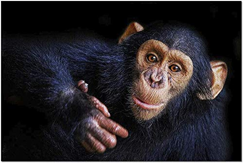 ACCYT HD Retrato de un chimpancé Haciendo una expresión Divertida con Fondo Negro 9003667 (¡Rompecabezas Premium de 1000 Piezas de 19x27 Hecho en EE. UU.!)