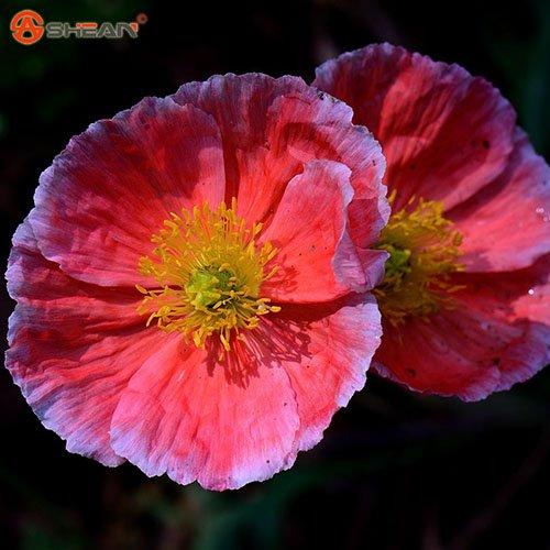 Islande pavot Couleurs mélangées Couper Graines de fleurs bricolage SeedsAndPlants Jardin des Plantes 200 particules / lot