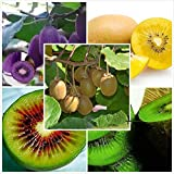 vente pas cher Bonsai Hot 100seeds / bag Le roi des fruits semences Kiwi graines de fruits maison de jardin de bonsaïs