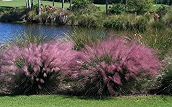 3 Pink Muhly Grass in 2.5 Inch Containers (3 Pots of Plants) by Daylily Nursery