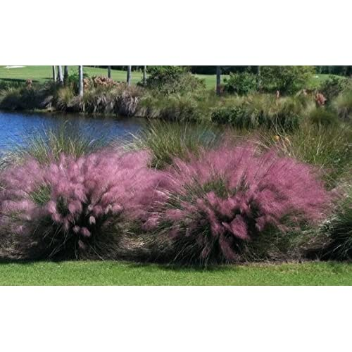 Amazon Com 3 Pink Muhly Grass In 2 5 Inch Containers 3 Pots Of