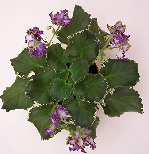GEOPONICS Viol Cajun Storm Live schauen Pflanze im Topf Standard