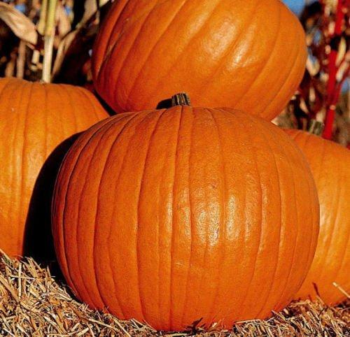 15+ Connecticut Feld Kürbis-Samen - groß für Schnitzen (Jack O'Lantern)
