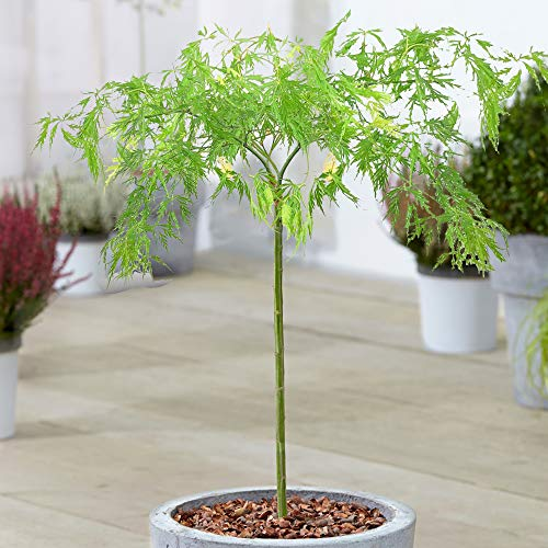 Acer Dissectum Tree | Japanese Maple Potted Ornamental Trees for Small Gardens | Premium Straight Lollipop Standard Stem (70-80cm (Incl. Pot))