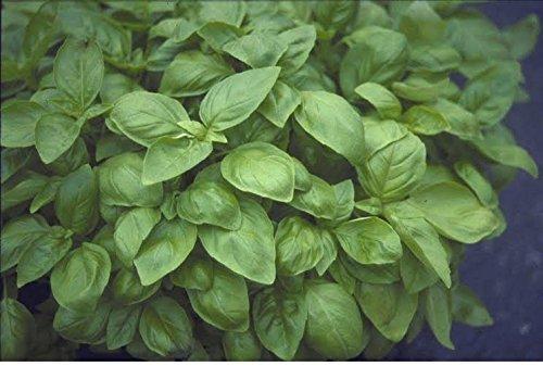 Just Seed???herbes???Basilic???Sweet Genovese???Ocimum Basilicum???6000?Seeds
